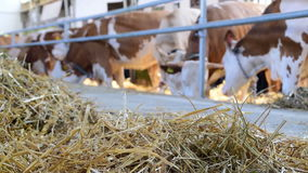 Hay and cows that eating in the barn stock video