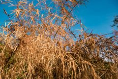 Dry leaves on plants against blue sky. Hay drought leaves in field with background of blue sky, Thailand stock photos