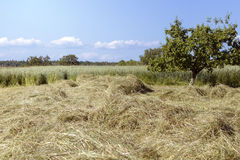 Hay drying Royalty Free Stock Photography