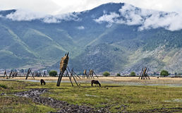 Hay Drying in Tibet Stock Photography