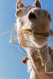 Hay eating horse Royalty Free Stock Photo