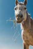 Hay eating horse 2 Stock Photo