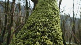 Hay el tronco de árbol que se cubre con el musgo verde grueso en un primer metrajes