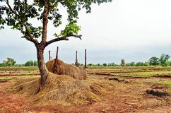 Hay for livestock nest to rice fields in rural Sakon Nakhon province in northern Thailand. Hay for the farmer`s water buffalo is stacked next to a lone tree by royalty free stock photos