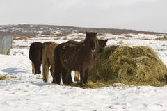Hay feeding for Icelandic horses in winter Royalty Free Stock Photos