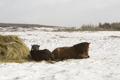 Hay feeding for Icelandic horses in winter Stock Image