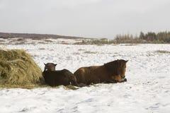 Hay feeding for Icelandic horses in winter Stock Image