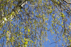 Hay fever season: Birch has many blossoms with pollen. In spring Stock Photo