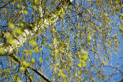 Hay fever season: Birch has many blossoms with pollen. In spring Royalty Free Stock Photos