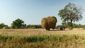 Hay field, hay, haying time, tractor, straw, rice hay. Farmer driving a two wheel tractor loaded with hay in a field stock video