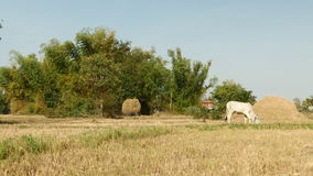 Hay field, hay, haying time, tractor, straw, rice hay. Farmer driving a two wheel tractor loaded with hay nin a field. Cow eating grass on the  background stock footage