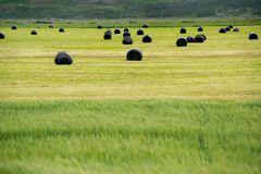 Hay fields in Iceland. Large field with hay wrapped in protective plastic in Iceland stock photography