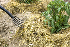Hay fork mulching tomato plants Royalty Free Stock Photography