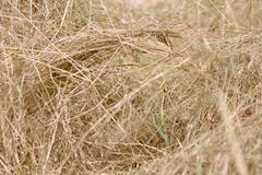 Hay Grass Dried Yellow Straws Straw Nature Background fotografie stock libere da diritti
