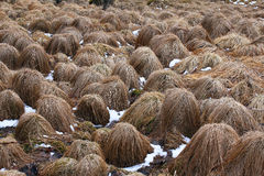 Hay heads. A hay field in Reykjavik Iceland with bumps that look like heads popping out of the ground Stock Photography