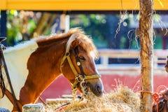hay jeść koń Zdjęcie Stock