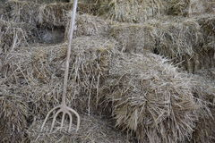 Hay is a lot of and a wooden pitchfork. Straw hay as background. Ancient pitchfork. To collect hay in a stack stock photo