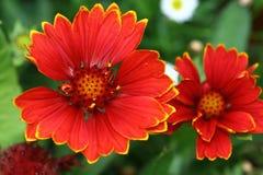 Hay muchos tipos de flores del Gaillardia, extendiéndose de publicaciones anuales a los perennials foto de archivo