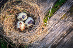 Hay nest full of quail eggs on old moss wood Royalty Free Stock Photos