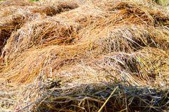 Hay pile at paddy fields. Yellow hay pile at paddy fields after harvesting time in Central Java, Indonesia royalty free stock image