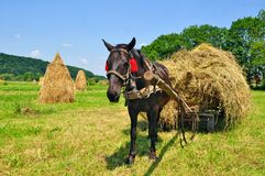 Hay preparation Stock Image