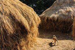 The hay and a puppy stock image