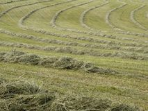 Hay raked into rows Stock Photography