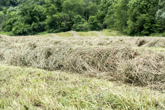 Hay raked into windrows Royalty Free Stock Image