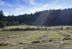 Hay ready for baling on Saltspring Island, BC. Rows of cut hay ready to be baled. Colorful rays of sunshine shining down on scene Stock Image