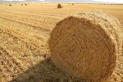 Hay round bale of dried wheat cereal Stock Image