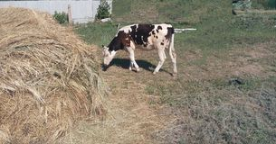 Hay, season, summer, calf, pasture, farm, milk, lonely, spotted, cow, eco-friendly, cattle stock photos