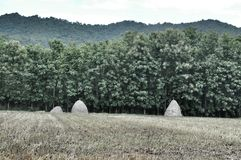 Hay stack in the rice field for buffalo feeding Royalty Free Stock Images