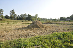 Hay Straw Morning Day Thailand Field Royalty Free Stock Image
