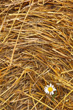 Hay texture and Chamomile Stock Photo