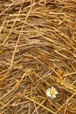 Hay texture and Chamomile stock photo