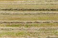 Hay texture Stock Images
