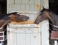 Talking Horses - Horse Haven, Saratoga stock photography