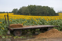 Hay trailer in Sunflower field Royalty Free Stock Photos