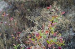 Hay un arbusto brillante y colorido en el medio de vegetación de la montaña Imagen de archivo