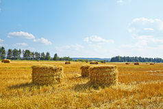 Hay vertical rolls on harvest field. Royalty Free Stock Photo
