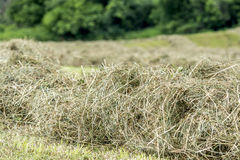 Hay windrow close up Royalty Free Stock Image