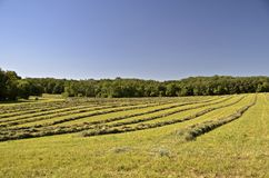Hay windrows in a field Stock Photos