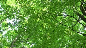 Haya común de las hojas verdes, frescas Sylvatica europeo del Fagus de la haya metrajes