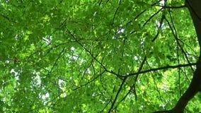 Haya común de las hojas verdes, frescas Sylvatica europeo del Fagus de la haya Hojas de la haya en primavera temprana en bosque almacen de metraje de vídeo