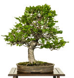 Haya europea como árbol de los bonsais Imágenes de archivo libres de regalías