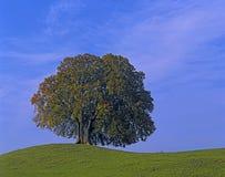 Haya-árboles Imagenes de archivo