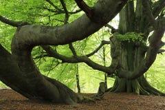 Haya vieja en el bosque imagen de archivo