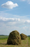 Haycocks. / Haystacks arranged in a field stock image