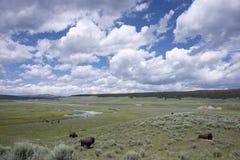 Hayden Valley. Bison graze in Hayden Valley in Yellowstone National Park in Wyoming Stock Images