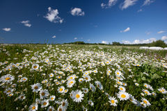 Hayfield. With daysies, beautiful nature of Latvia Stock Images
